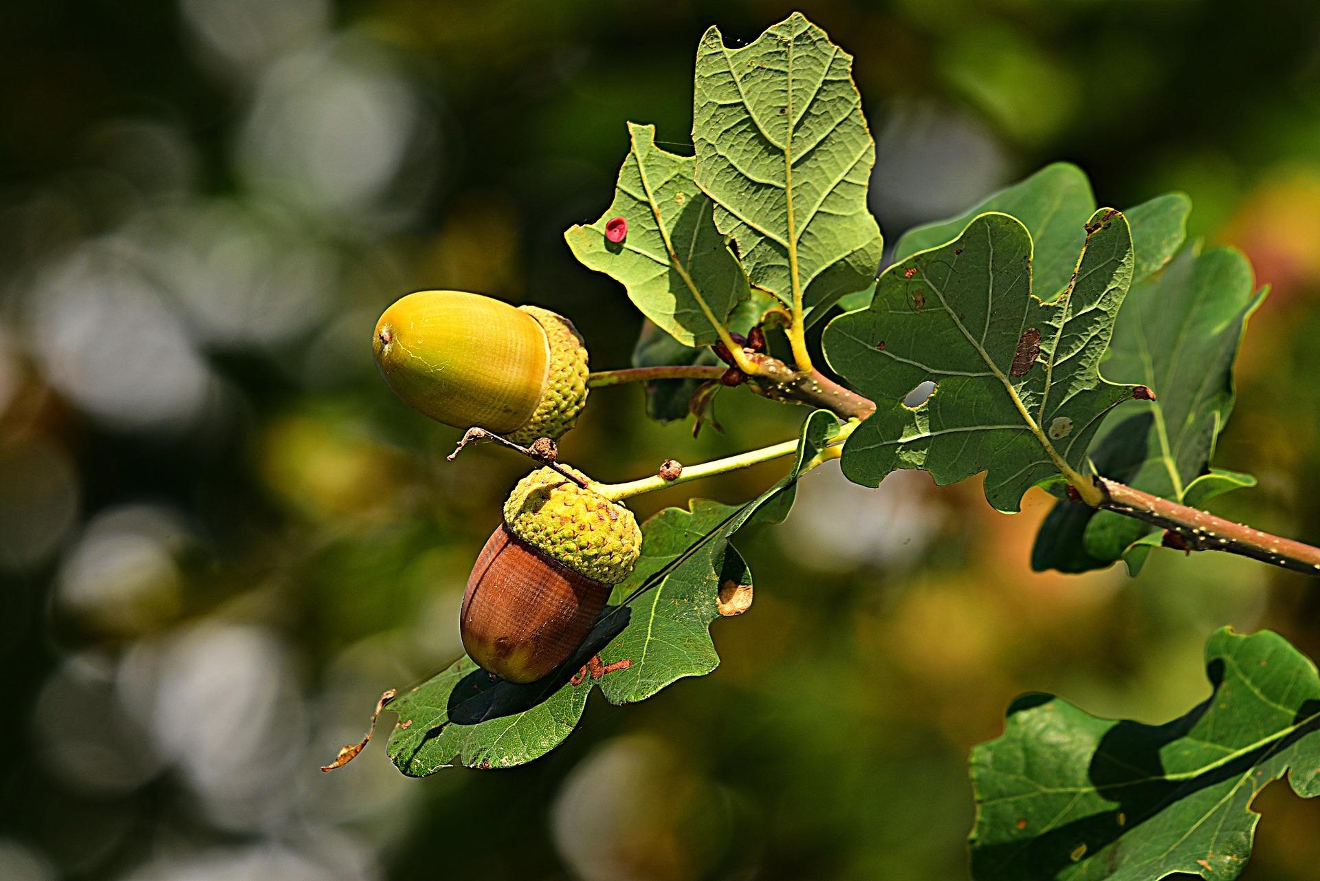 acorn-3694485_1920