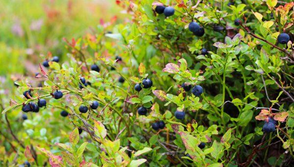 blueberries-1648595_1920